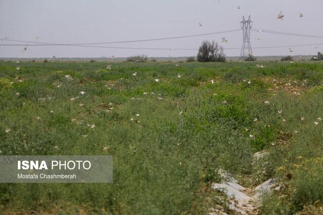 خطر حمله ملخ صحرایی به مزارع فارس جدی است